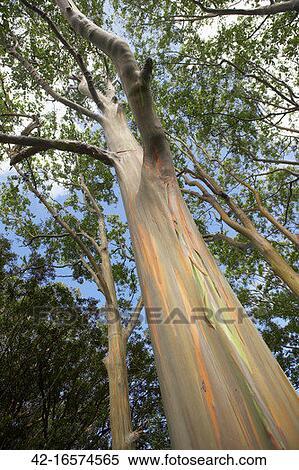 banque d 39 image arc en ciel arbre eucalyptus 42 16574565 recherchez des photos des images. Black Bedroom Furniture Sets. Home Design Ideas