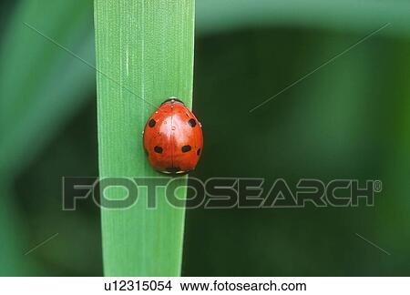Stock Photo of Lady bug on blade of grass close up u12315054