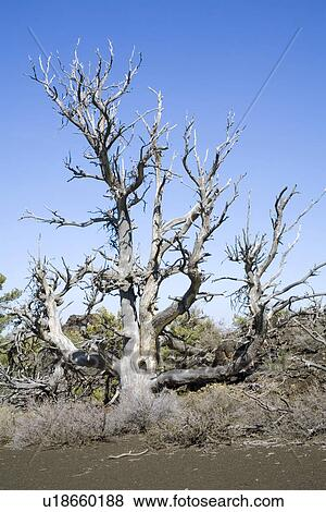 Pictures Of Dry Tree In Crater Of The Moon National