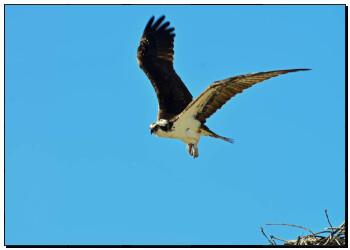 艺术图片 刚会飞的小鸟, 鹗, 首先, 飞行
