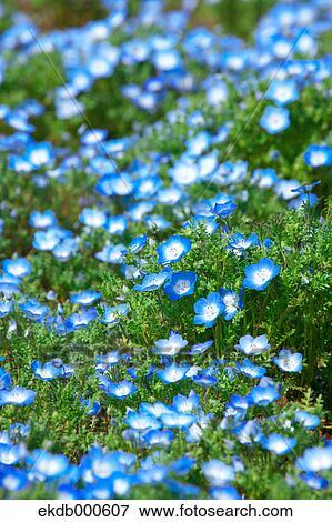 Baby blue,eyes flowers, Ibaraki Prefecture Stock Photo
