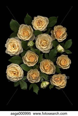 Rosa Fiori Su Sfondo Nero Archivio Fotografico