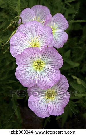 Stock Photo Of Pink Evening Primrose Flowers Zjgb000844 Search