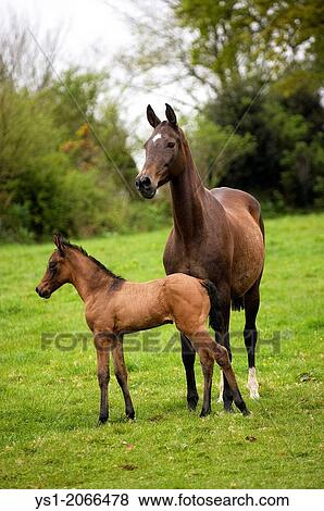 Akhal Teke Horse Breed From Turkmenistan Mare And Foal Stock Photo