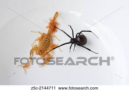 Arizona bark scorpion with babies and black widow, Mesa, Arizona Stock Image