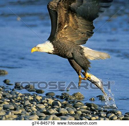 Bald Eagle Catching Fish Stock Images G74 845716