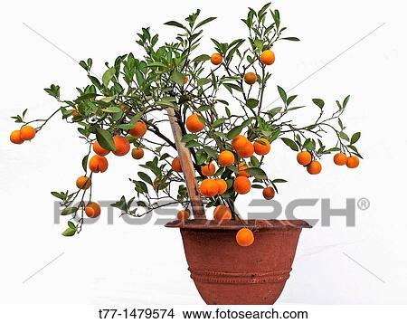 Bonsai Plant Of Orange Fruits Sour Orange Seville Orange Picture T77 1479574 Fotosearch