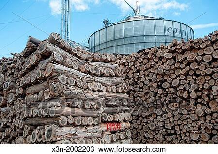 Stockfoto Canola Olja Rapeseed Produktion Med Eukalyptus