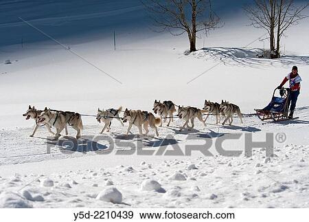 Dog sledge race, Switzerland  Stock Photo