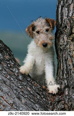 Dog Wire Fox Terrier Puppy Sitting In A Tree Stock Image