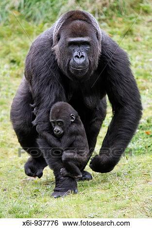 Gorille Des Plaines Occidentales Portrait (Gorilla Gorilla Gorilla) En  Captivité. National Zoo. Washington DC, Etats-Unis. Banque D'Images Et  Photos Libres De Droits. Image 12506523.