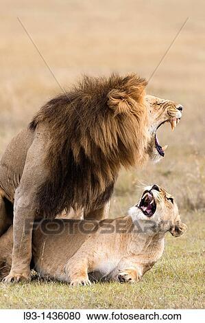 Banco de fotograf as apareamiento leones panthera leo masais mara reserva nacional kenia - Leones apareamiento ...