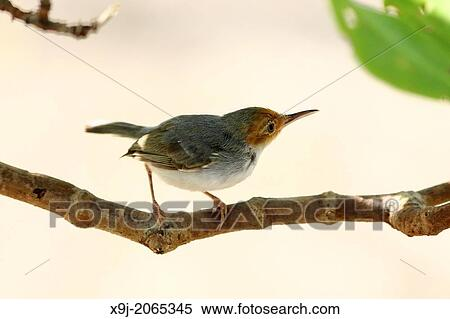 """Résultat de recherche d'images pour """"oiseau tailleur"""""""