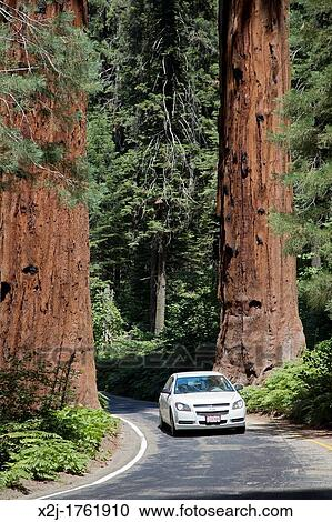 Sequoia National Park, California - Cars drive between two huge Sequoia  trees on the Generals Highway in Sequoia National Park Stock Image