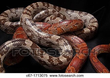 Serpent maïs, elaphe, guttata, guttata, entrelacé Banques de Photographies