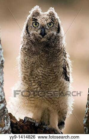 stock images of spotted eagle owl loita hills kenya yy9 1414826