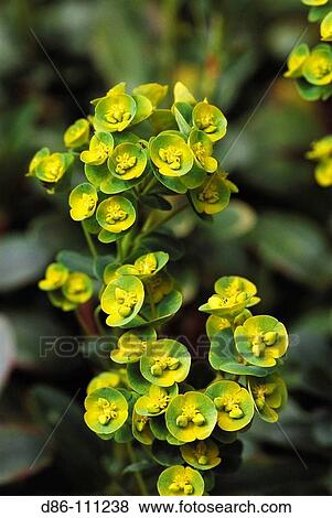 Spurge Euphorbia Sp Stock Photo D86 111238 Fotosearch