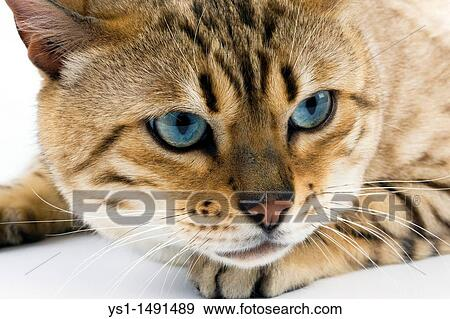 Kolekcje Foto Znak Norka Zaprawa Murarska Bengalski Domowy Kot