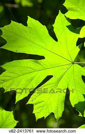 Bigleaf Maple Acer Macrophyllum Leaf Spongs Landing County Park