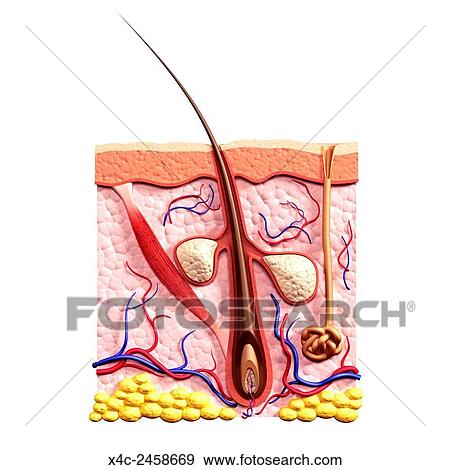 Stock Photograph of Cross section of skin showing hair follicle ...