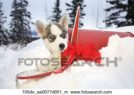 Husky Christmas Puppy.Siberian Husky Puppy Sits Inside Of A Red Mailbox With Christmas Bow In Alaska Picture