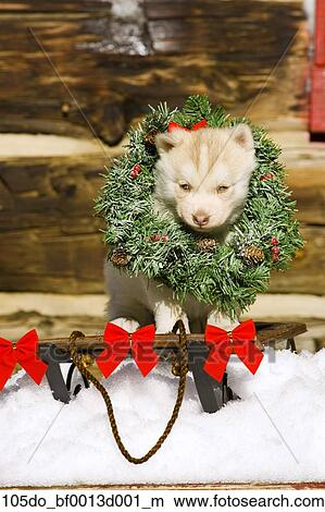 husky puppy wearing christmas wreath sitting on sled in snow outside cabin colorado