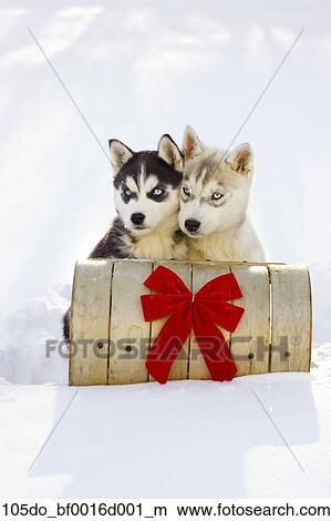 Stock Photo Of Pair Of Siberian Husky Puppies Sitting On Toboggan