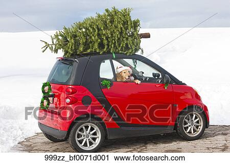 1f22f51bd0560 Stock Image - Red smart car with a Christmas tree on top and Golden  Retriever wearing