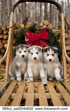 Siberian Husky Puppies In Traditional