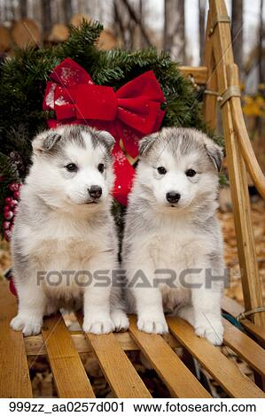 Husky Christmas Puppy.Siberian Husky Puppies In Traditional Wooden Dog Sled With Christmas Wreath Alaska Stock Image