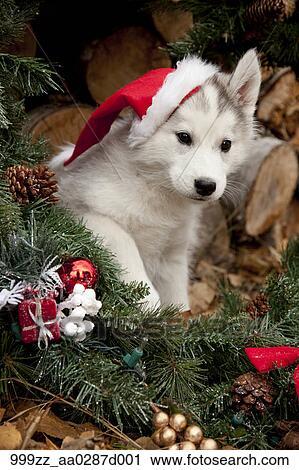 Husky Christmas Puppy.Siberian Husky Puppy Wearing A Santa Hat Sits Inside A Christmas Wreath Outdoors Alaska Autumn Stock Image