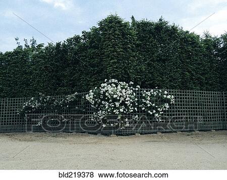 Uberlegen Büsche, Und, Blumen, Wachsen, Entlang, Zaun