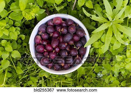 Purple Berries in Basket Clip Art