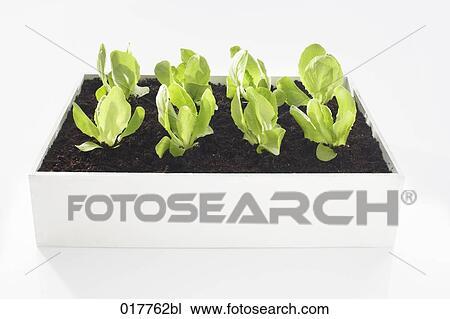 stock photo of lettuce seedlings growing in flower box 017762bl