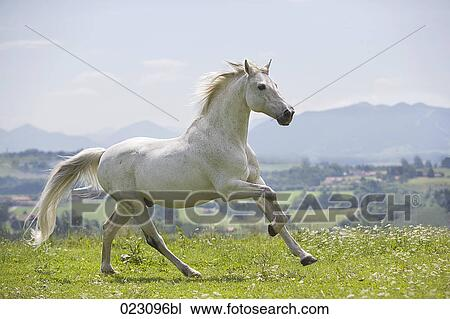 Stock Photo Of White Horse Running On Meadow 023096bl Search Stock