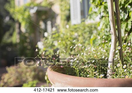 Stock Photography of Delicate flowers growing in pot in sunny garden ...