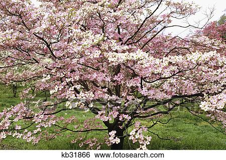 Stock Images Of Dogwood Tree In Bloom Washington Dc Kb31866