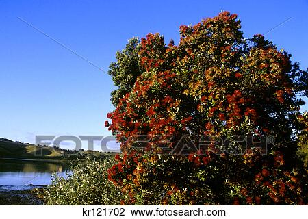 New Zealand Christmas Tree In Bloom Stock Image Kr121702 Fotosearch
