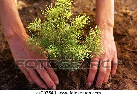Stock Photo Of 1990s Symbolic Environment Hands Planting Pine Tree