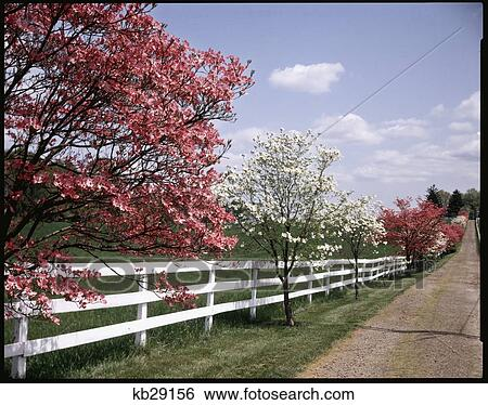 White Fence With Pink And Dogwood Trees In Spring