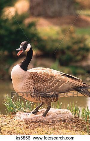 newest collection ca8c2 7d024 Natur, tier, nest, gans, vogel, tiere - wildnis Stock Fotograf