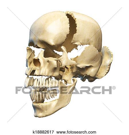 Colección de ilustraciones - cráneo humano, con, partes, exploded ...