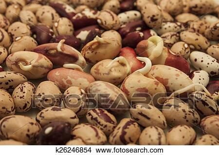 Germinating Kidney Bean Picture K26246854 Fotosearch