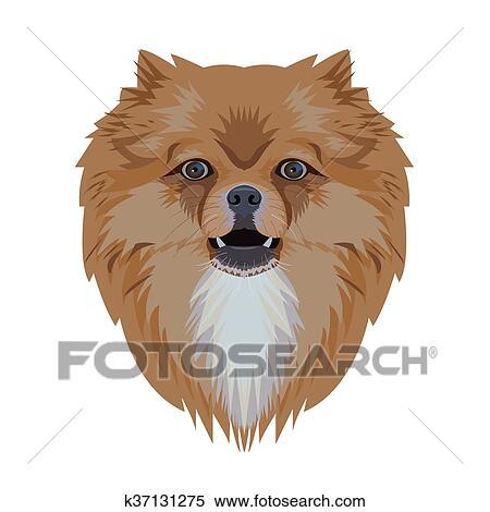Portrait Of Pomeranian Dog Isolated On White Background Clipart