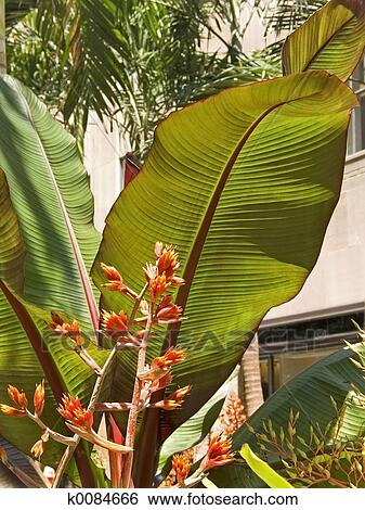 Big Tropical Leaves Stock Photograph K0084666 Fotosearch