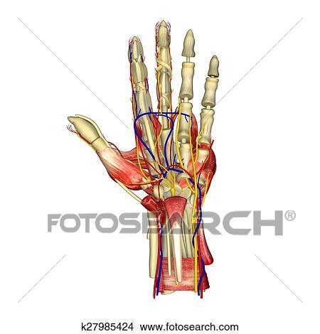 Stock Foto - hand, muskeln k27985424 - Suche Stockbilder, Wandbilder ...