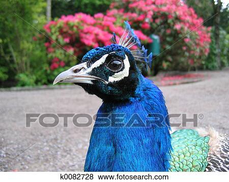 Fotos - un, macho, pavo real, cabeza k0082728 - Buscar fotos e ...