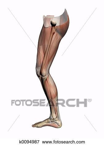 Colección de ilustraciones - anatomía, un, pierna, transparant, con ...