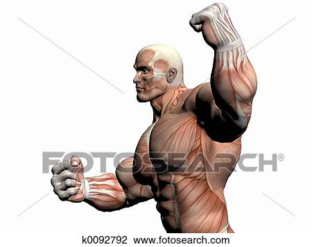 Clip Art of Anatomy of the man, body builder. k0092792 - Search ...