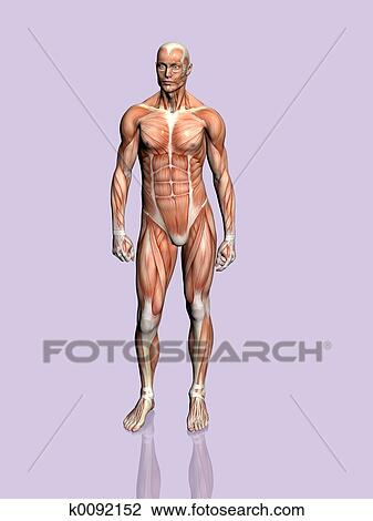Clip Art Of Anatomy Of The Man K0092152 Search Clipart